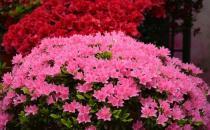 杜鹃花的介绍-杜鹃花如何养护?