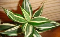 富贵竹的简介 富贵竹的种植方法