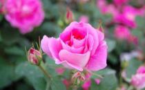 蔷薇花的简介 蔷薇花的布置摆放